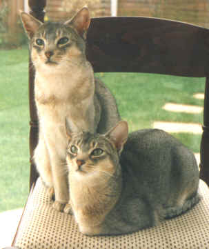 Abyssinian Cat Grey
