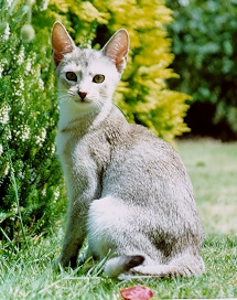 Abyssinian Cat Black